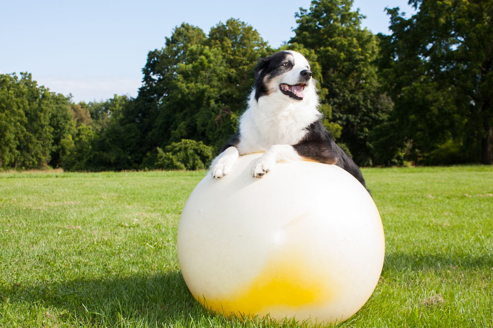 Dog playing a ball race exercise
