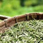 white tea extract herb